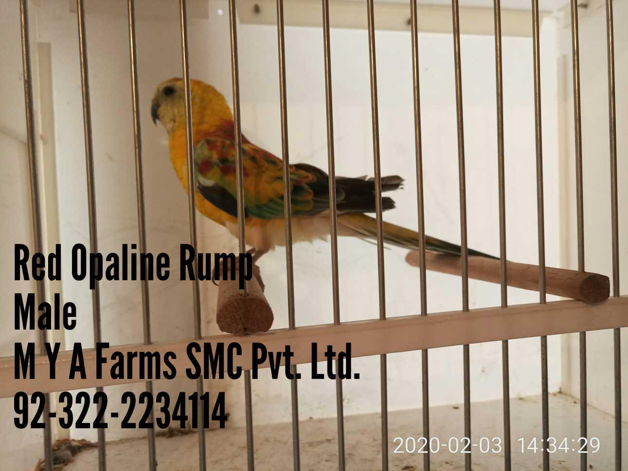 Red Opaline Rump Parrot!